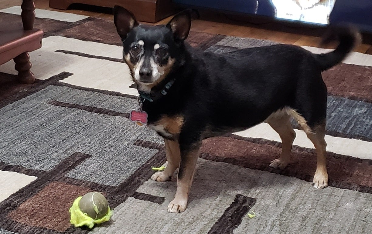 Small black & tan dog with gray muzzle standing at alert with a tennis ball in front of her.