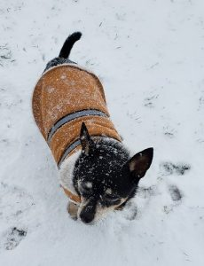 Small dog in snow with brown jacket on