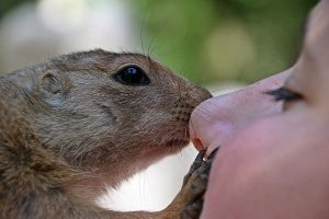 closeup of squirrel nose-to-nose with woman