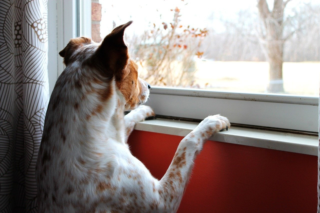 Photo of a dog with paws on window sill looking out window