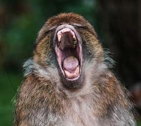 monkey screaming