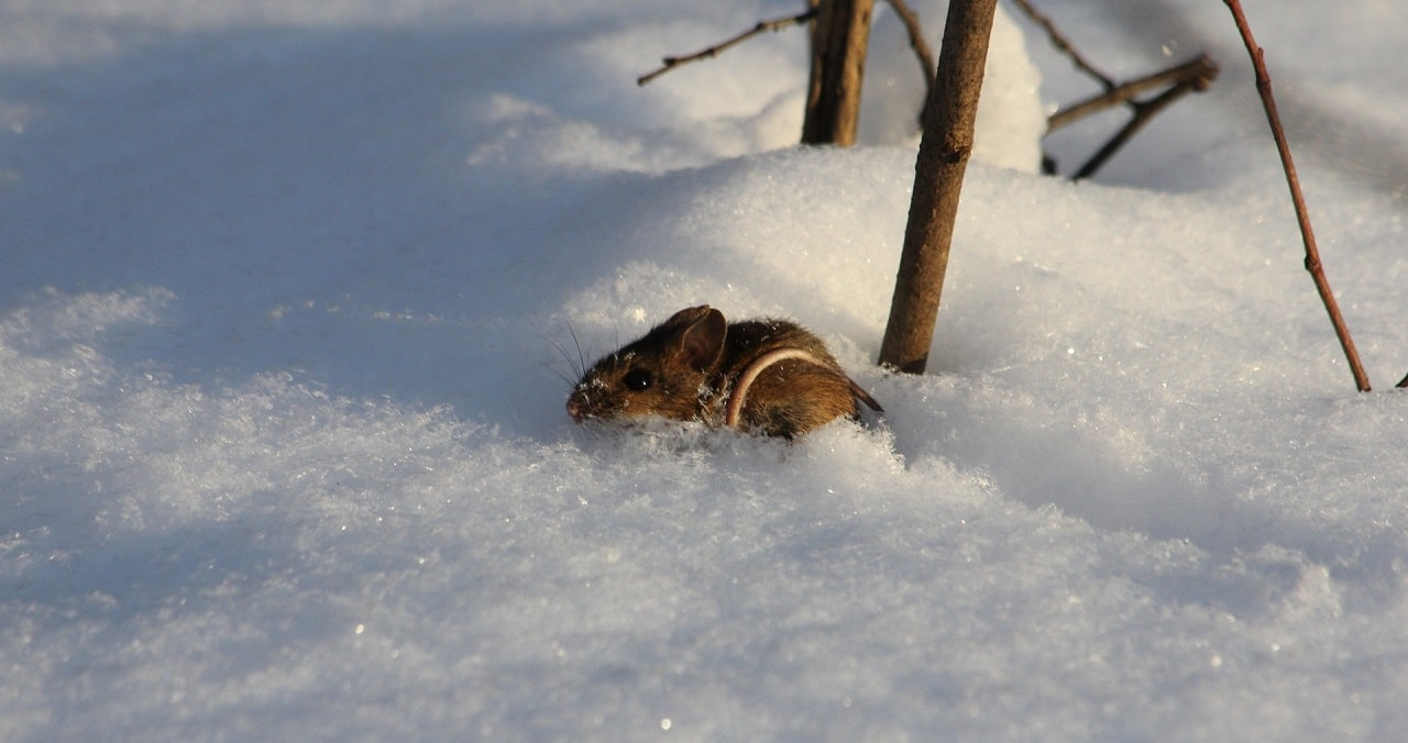 Photo of a field mouse caught in the snow