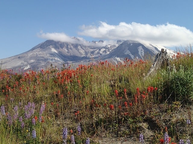 Flowers growing on post-eruption Mt. St. Helens