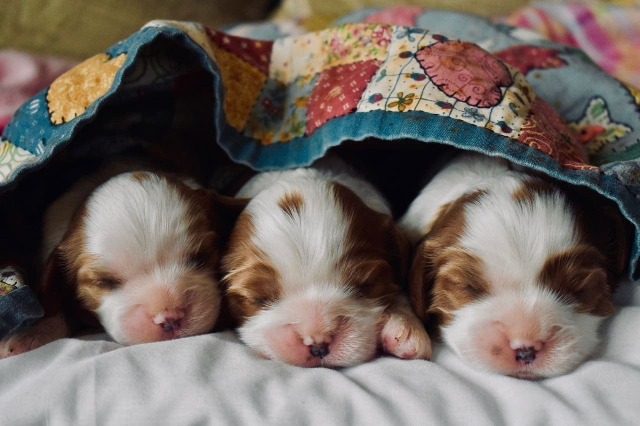 Three brown, black and white puppies together under a blanket
