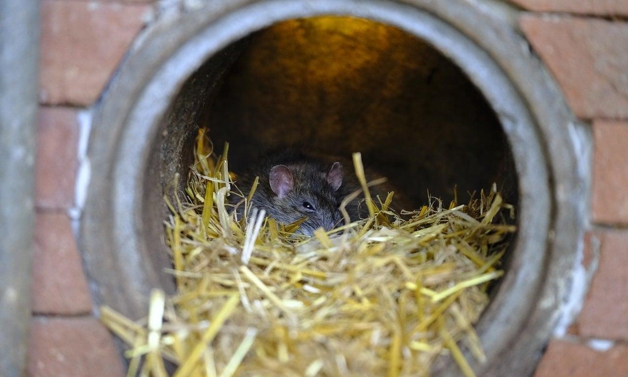 A rat in it's nest inside a metal drainpipe