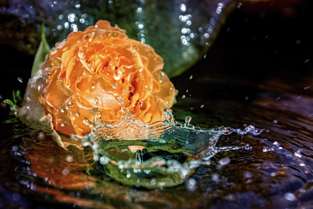 An orange rose being splashed by drops of water