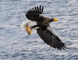 A sea eagle lifting up from the water with a fish in its talons.