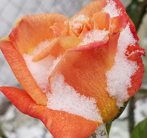 orange rose with snow on it
