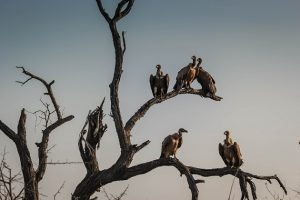 Five vultures in a bare tree
