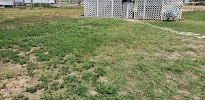 partly weeded lawn