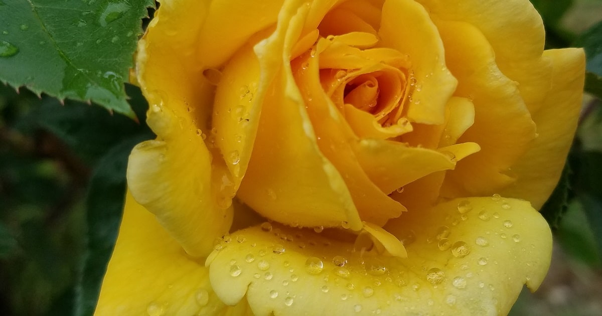 Closeup of yellow rose with water drops on petals